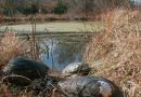 Shell shock: Giant invasive mussels eradicated from US ponds