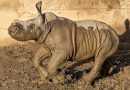 Baby white rhino gets name, frolics in mud at zoo