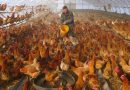 China Targets the Coronavirus, and Farmers Pay a Price