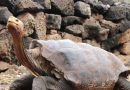 Diego, the Tortoise Whose High Sex Drive Helped Save His Species, Retires