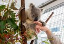 How Koalas With an S.T.D. Could Help Humanity