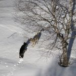 Relocated Isle Royale wolves form groups, reduce moose herd