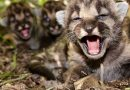 Southern California sees summer of mountain lion kittens