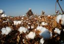 U.S. May Ban Cotton From Xinjiang Region of China Over Rights Concerns