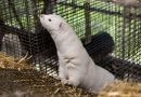 Denmark mink cull: Government halts plans to cull more than 15 million minks over coronavirus scare