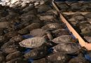 About 3,500 sea turtles are rescued from the frigid temperatures in Texas.