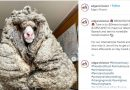 Baarack, sheep in Australia with over 75 pounds of wool, rescued